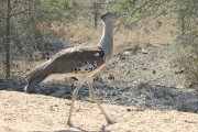 Kori Bustard - the largest bird that can fly